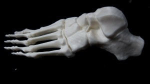 Anterior bone of the foot